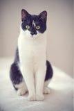 Gatto di un colore in bianco e nero Immagini Stock