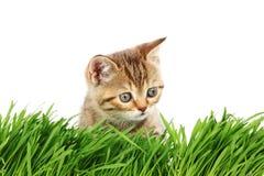 Gatto dietro erba Fotografia Stock Libera da Diritti