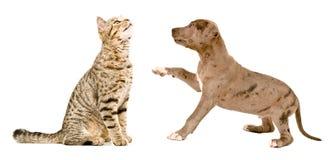 Gatto diritto scozzese che fiuta un cucciolo del pitbull Immagine Stock