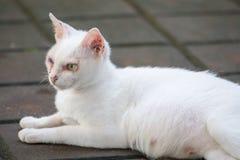 Gatto dispari bianco dell'occhio Fotografia Stock