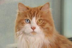 gatto dispari-eyed Immagine Stock