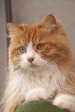 gatto Dispari-eyed Fotografia Stock