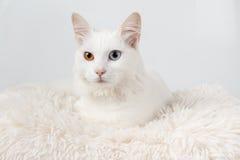 Gatto dispari-osservato bianco sveglio Immagine Stock