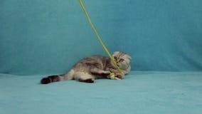 Gatto divertente che gioca con poco coniglietto del giocattolo stock footage