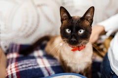 Gatto divertente con un primo piano rosso della cravatta a farfalla Gatto con la farfalla gatto con il difetto dell'occhio Il con fotografia stock