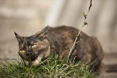 Gatto domestico che mangia erba Fotografia Stock