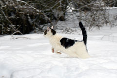 Gatto domestico che salta nella neve Fotografia Stock