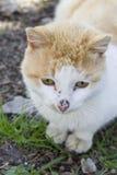 Gatto domestico che si siede sulla terra, Fotografia Stock Libera da Diritti