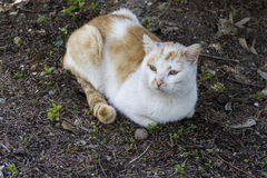 Gatto domestico che si siede sulla terra, Fotografie Stock