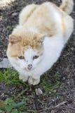Gatto domestico che si siede sulla terra, Immagini Stock Libere da Diritti