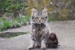 Gatto domestico con una coda lunga immagini stock libere da diritti