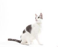Gatto domestico dei capelli corti grigi e bianchi su bianco Fotografie Stock