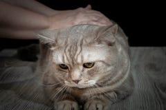 Gatto domestico del primo piano della razza scozzese fotografie stock