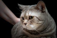 Gatto domestico del primo piano della razza scozzese fotografie stock libere da diritti