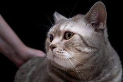 Gatto domestico del primo piano della razza scozzese fotografia stock