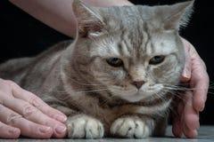 Gatto domestico del primo piano della razza scozzese immagini stock