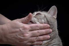 Gatto domestico del primo piano della razza scozzese fotografia stock libera da diritti