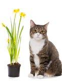 Gatto domestico e narcisi grigi Fotografia Stock