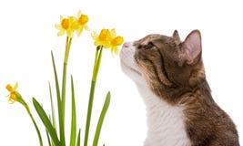 Gatto domestico e narcisi grigi Immagini Stock Libere da Diritti