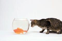 Gatto domestico e un pesce dell'oro. Fotografia Stock Libera da Diritti