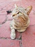 gatto domestico grigio che riposa e che cerca fotografia stock