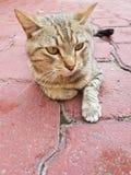 gatto domestico grigio che riposa e che guarda immagine stock