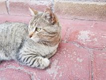 gatto domestico grigio con le bande che si riposa e che riposa fotografie stock libere da diritti