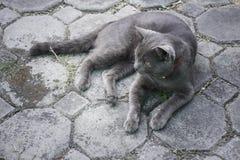 Gatto domestico lanuginoso raffreddato sul pavimento Immagini Stock