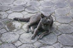 Gatto domestico lanuginoso raffreddato sul pavimento Immagine Stock