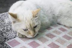 Gatto domestico lanuginoso raffreddato sulla tavola Fotografia Stock Libera da Diritti