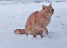 Gatto domestico nella neve fotografia stock libera da diritti