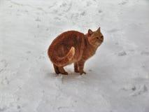Gatto domestico nella neve Immagine Stock Libera da Diritti