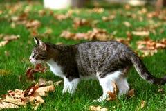 Gatto domestico su erba verde con le foglie gialle Fotografia Stock Libera da Diritti