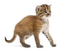Gatto dorato asiatico diritto, temminckii di Pardofelis, vecchio 4 settimane immagini stock libere da diritti