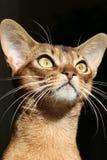 Gatto dorato dell'abissino degli occhi fotografie stock