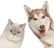 Gatto e cane britannici del husky. Ritratto del primo piano. Fotografia Stock