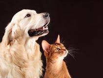 Gatto e cane, gattino abissino, golden retriever Fotografie Stock Libere da Diritti