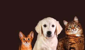 Gatto e cane, gattino abissino, golden retriever Fotografia Stock Libera da Diritti
