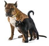 Gatto e cane insieme su fondo bianco Pitbull striato rosso con un piccolo gatto nero Immagini Stock Libere da Diritti