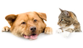 Gatto e cane sopra la bandiera bianca Immagine Stock