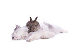 Gatto e coniglio immagine stock libera da diritti