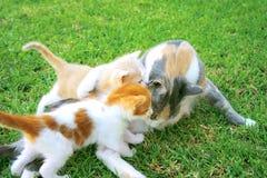 Gatto e gattini della madre Immagini Stock