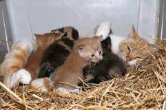 Gatto e gattini di mamma Fotografie Stock Libere da Diritti