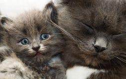 Gatto e gattino Fotografia Stock Libera da Diritti
