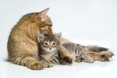 Gatto e gattino Immagini Stock