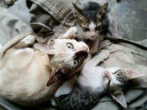 Gatto e gattino della madre Immagini Stock Libere da Diritti