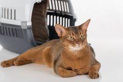 Gatto e scatola abissini curiosi Isolato su priorità bassa bianca Fotografia Stock