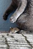 Gatto e topo Immagini Stock