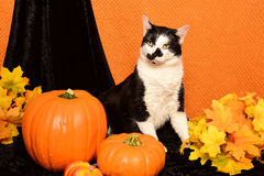 Gatto e zucche in bianco e nero Immagini Stock