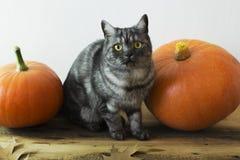 Gatto e zucche britannici Fotografia Stock Libera da Diritti